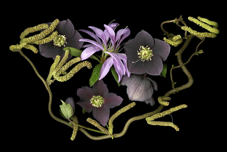 Azalea Helleboris