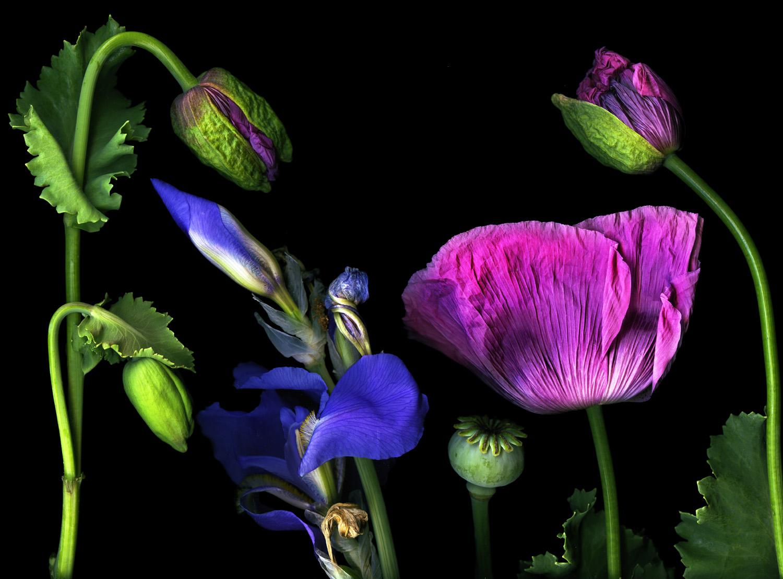 Lavender Papavers