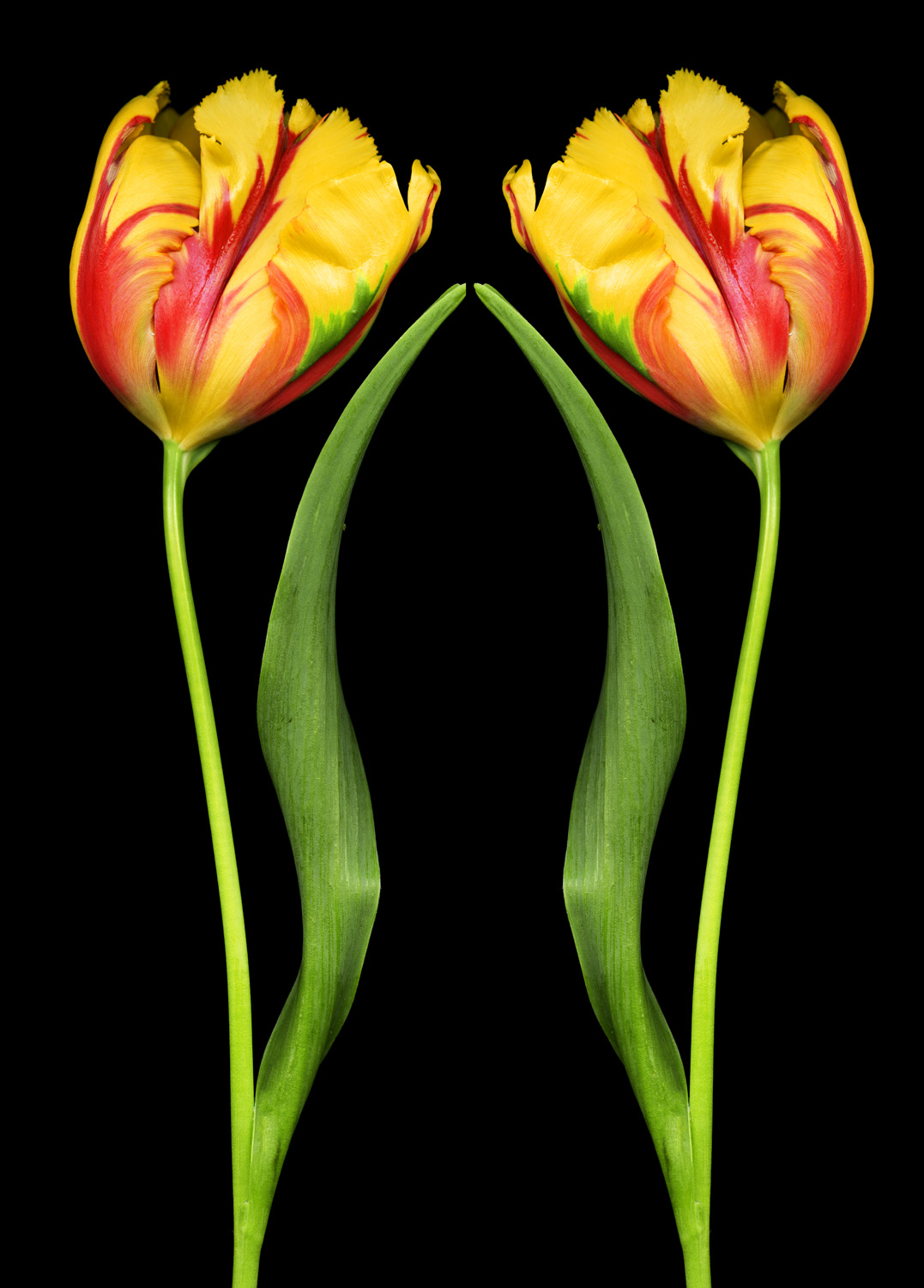 Praying Tulips