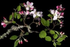 Apple Blossoms Granny
