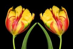 Praying Tulips